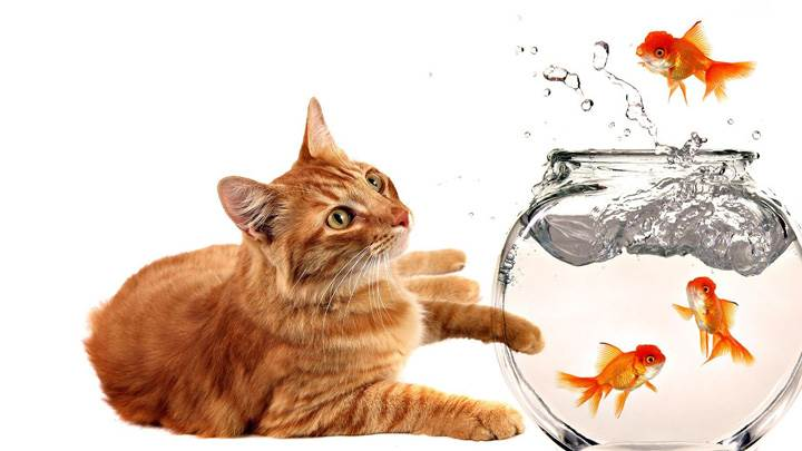 Cat Watching Fishes In Jar
